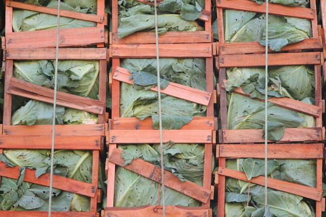 cabbage-load-1197083-639x426